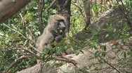 Stock Video Footage of Olive baboon