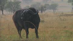 Cape buffalo Stock Footage