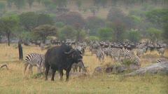 Stock Video Footage of Cape buffalo