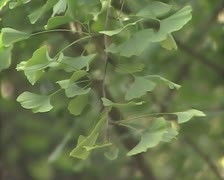 Sprig with green leaves Stock Footage