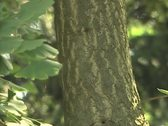 Stock Video Footage of Tree  with leaves