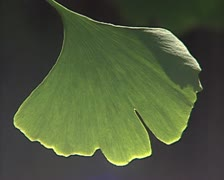 Green branchy leaf Stock Footage