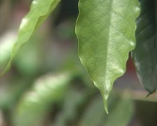 Light green leaves Stock Footage