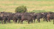 Cape buffalo Stock Footage