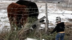 Young boy feeding cows P HD 7206 - stock footage