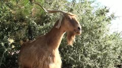 Goat chewing bushes - stock footage
