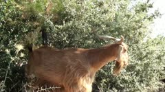 Goat chewing bushes 1 - stock footage