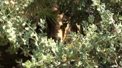 Goat behind the bushes Stock Footage