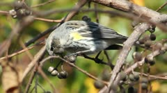 Yellow rumped warbler (Setophaga coronata) Stock Footage