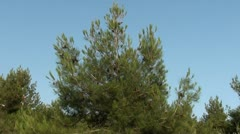 Sliding down a pine Stock Footage