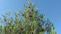 Pine-tree top Stock Footage