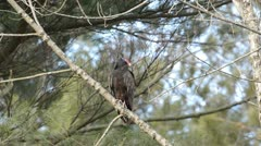 Turkey vulture Stock Footage