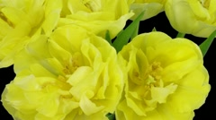 Time-lapse opening yellow tulip bouquet with ALPHA matte 9a - stock footage