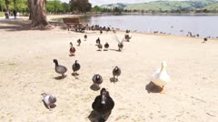 Ducks at Lake Elizabeth Stock Footage
