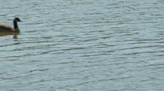 Stock Video Footage of Ducks crossing Lexington Reservoir 2010