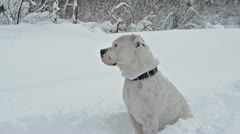 Dog sitting in snow 7110 - stock footage
