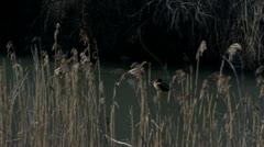 Wild Ducks On Frozen Water Stock Footage