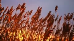 Marsh Grass Sunrise Stock Footage