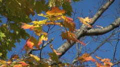 Massachusetts Autumn leaves and blue sky sx Stock Footage