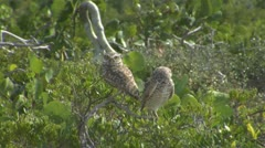 Two burrowing owls Stock Footage