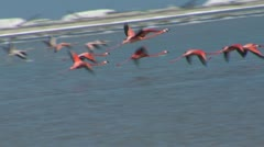 Flamingoes flying - stock footage
