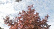 Red Leaf Tree Stock Footage