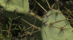 Cactus thorns Stock Footage