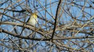 Stock Video Footage of American Goldfinch