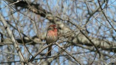 House Finch 2 Stock Footage