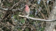 Stock Video Footage of House Finch 3