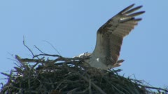 Osprey in nest Stock Footage