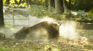 Bison Rolling and Getting Up HD Stock Footage