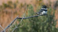 Stock Video Footage of Belted Kingfisher (Megaceryle alcyon)