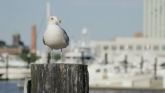 Seagull - Baltimore Inner Harbor Stock Footage