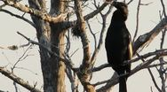 Stock Video Footage of Great Cormorant (Phalacrocorax carbo)