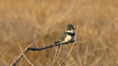 Belted Kingfisher (Megaceryle alcyon) Stock Footage