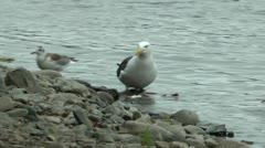 Life of sea seagulls. River bank near the sea Stock Footage