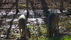 Backlit Deer Shot Dolly Mammoth Cave National Park Part 2 Stock Footage