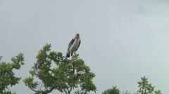 Marabou stork Stock Footage