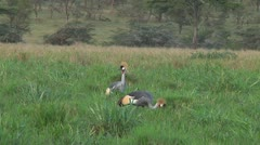 Crowned crane - stock footage
