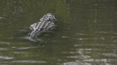 Alligator Swimming Away - stock footage