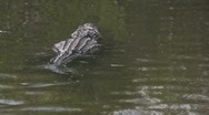 Stock Video Footage of Alligator Swimming Away