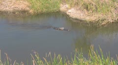 Alligator Swimming Pan Left to Right Stock Footage
