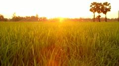 Wind blowing in the paddy rice field, at sunset Thailand Stock Footage