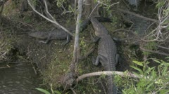 Alligators Laying Around - stock footage