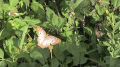 Orange Butterfly - stock footage