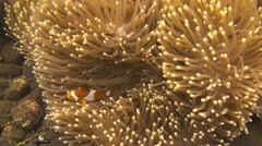 False clownfish Stock Footage