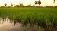 Stock Video Footage of Wind blowing in the paddy rice field, at sunset Thailand