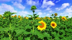 Flowering sunflowers on a background cloudy sky Stock Footage