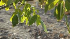 Walnut Leaves - stock footage